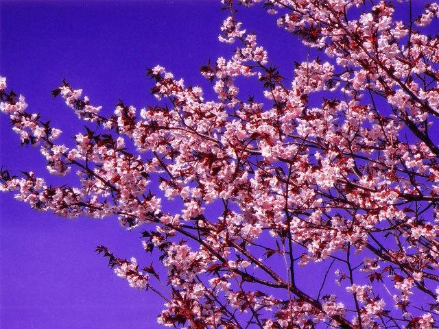 桜の画像 p1_12